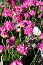 Armeria maritima, vivace persistante au feuillage vert et aux fleurs rose vif en été.