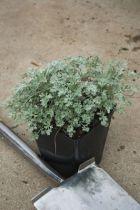 Artemisia absinthium lambrook silver, vivace semi persistante au feuillage blanc argent très léger.