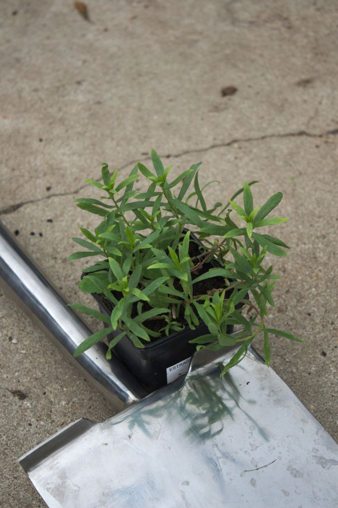 Artemisia dracunculus ou estragon for Soldes plantes vivaces