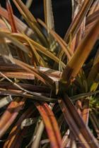 Astelia nervosa Westland, vivace persistante au beau feuillage argenté bronze rougissant au froid.