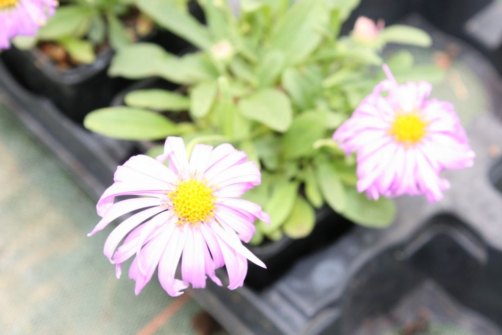 Aster alpinus \' Happy End \'