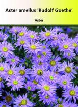 Aster amellus \' Rudolf Goethe \'
