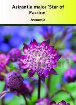 Astrantia major \'Star of Passion\'