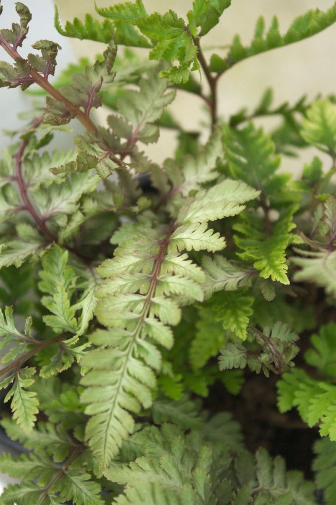 Athyrium metallicum 39 red beauty 39 ou foug re for Soldes plantes vivaces