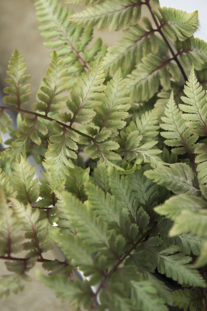 Athyrium niponicum 39 metallicum 39 ou foug re for Soldes plantes vivaces