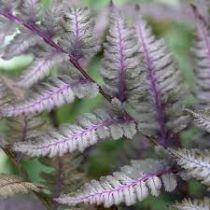 Athyrium niponicum pictum \'Burgundy Lace\'