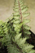Athyrium niponicum pictum \'Silver Falls\'