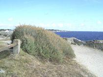 Arbuste persistant à feuillage gris, résistant au bord de mer