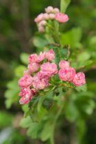 IMG_6779, arbre au feuillage caduc vert et aux fleurs rose doubles au printemps.