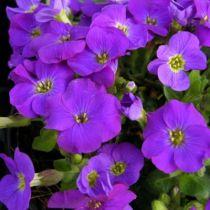 Aubrieta gracilis \'Kitte Blue\'