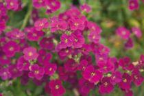 Aubrieta gracilis Rouge-rose