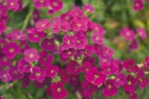 Aubrieta gracilis Rouge-rose
