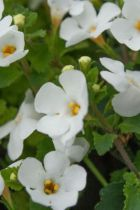 Bacopa blanc