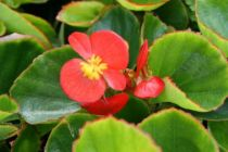 Begonia olympia rouge
