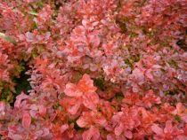 berberis thumbergii atropurpurea admiration ou épine-vinette, arbuste caduc compacte à feuillage orangé, rouge ou pourpre suivant les saisons.
