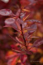Berberis ottawensis \' Auricoma \', arbuste au feuillage caduc pourpre prenant des couleurs orangé à l\'automne. Petites fleurs jaunes au printemps et baies rouges à l\'automne.