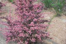 Berberis Rosy glow, arbuste au feuillage caduc blanc et rose devenant pourpre et aux fleurs jaunes en été.