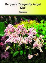 Bergenia \'Dragon Fly Angel Kiss\'
