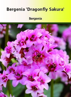 Bergenia \'Dragon Fly Sakura\'