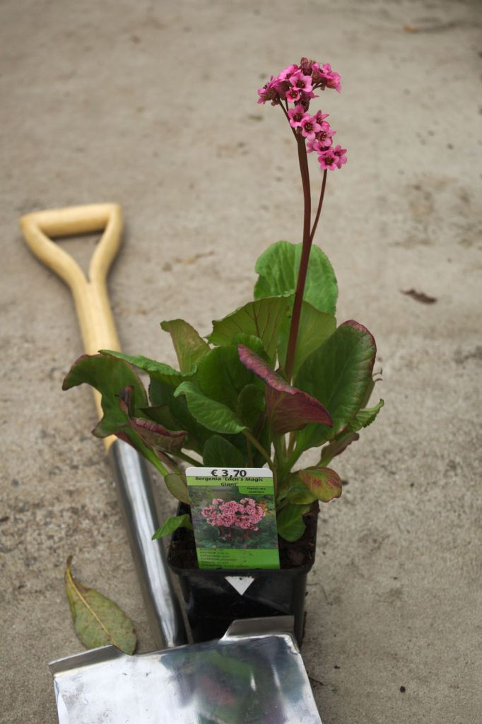 Bergenia \'Eden\'s Magic Giant\'