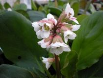 Bergenia cordifolia \'Bressingham White\'