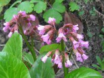 Bergenia cordifolia \'Wintermarchen\'