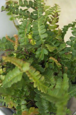 Blechnum 39 penna marina 39 ou foug re for Soldes plantes vivaces
