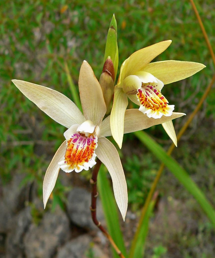 Bletilla ockracea ou orchid e vivace for Soldes plantes vivaces
