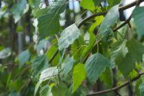 IMG_6052, arbre au feuillage caduc vert et jaune en automne. Tronc et branches à l\'écorce blanche très décorative.