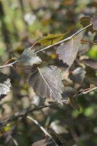 IMG_6035, arbre au feuillage caduc pourpre et se teinte de bronze pour devenir brunâtre en automne. Tronc à l\'écorce blanc grisâtre.