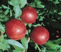 Brugnonier \'Nectared\', arbre fruitier caduc à feuille verte et aux fruits rouge carmin en été.