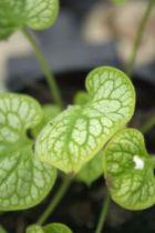 Brunnera macrophylla \'Mr Morse\'