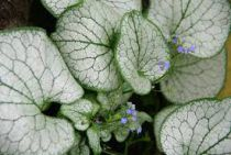 Brunneramacrophylla \'Silver Spear\'®