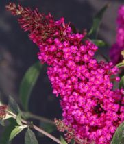 Buddleja buzz \'Hot Raspberry\'