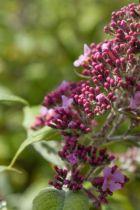 Buddleja davidii pink delight ou arbre à papillons, arbuste à floraison en panicules rose vif en été qui attirent les papillons.