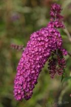 Buddleja davidii royal red, arbuste caduc au feuillage vert gris et aux fleurs en panicules rouge pourpre en été.