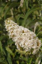 Buddleja davidii White Bouquet, arbuste caduc au feuillage vert gris et aux fleurs en panicules blanches en été.