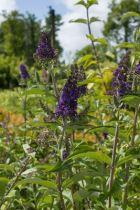Buddleja davidii \'Empire blue\' ou arbre à papillons, à floraison en épis bleu violacé tout l\'été