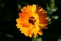 Calendula winter creepers \'Nectarine frost\'3
