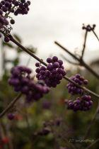 Callicarpa bodinieri, arbuste caduc au feuillage vert, pourpre en automne et aux fleurs rosés en été, suivies de fruits violets en automne très décoratifs.