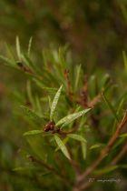 Callistemon rigidus, arbuste persistant à floraison rouge vif en forme d\'écouvillons.