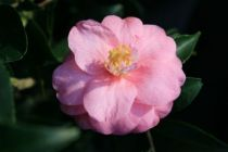 Camellia hybride 'Black Lace'