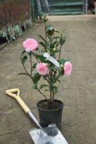 Camellia hybride \' EG Waterhouse \'
