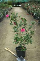 Camellia hybride \'Debbie \'