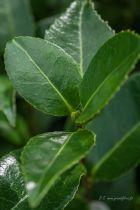 Camellia japonica  \' Dahlonega \', arbuste persistant vert aux fleurs doubles blanches, légèrement jaunes au centre.