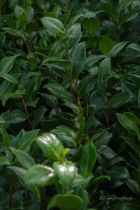 Camellia japonica  \' Dahlonega \'