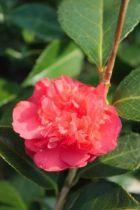 Camellia japonica  \' Daikagura \', arbuste au feuillage persistant vert et aux fleurs semi-doubles rose carmintacheté de blanc.