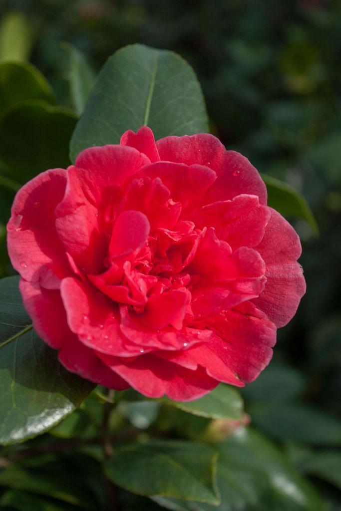 Camellia japonica  \' Dona Herzilia De Freita Magalhaes \'