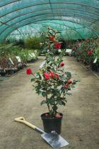Camellia japonica  \' Eugenia De  Montijo \'