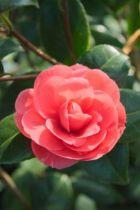 Camellia japonica \' Broggi \', arbuste persistant vert aux fleurs imbriquées rouge en hiver.